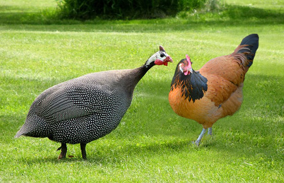 Can Chickens And Guinea Fowl Be Kept Together Poultry Owner